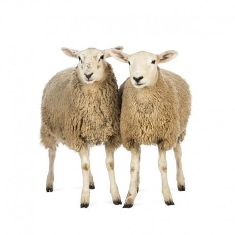Pienso ecológico ovejas mantenimiento