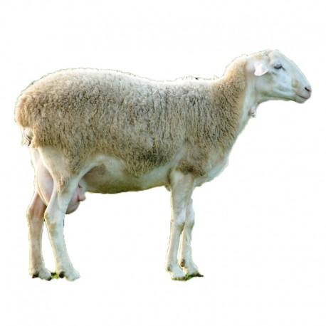 Pienso ecológico ovejas lactación