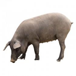 Pienso ecológico cebo cerdos