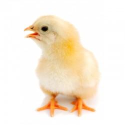 Pienso ecológico inicio pollos