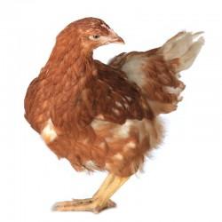 Pienso ecológico recría gallinas
