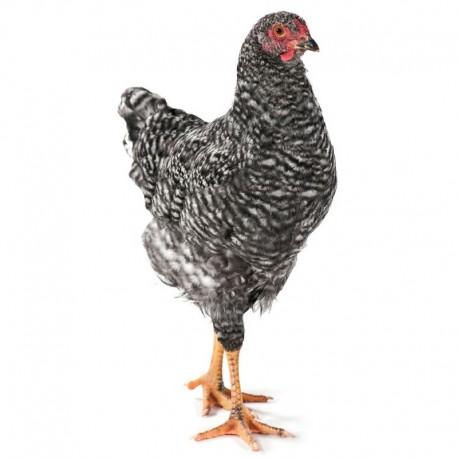 Pienso ecológico prepuesta gallinas