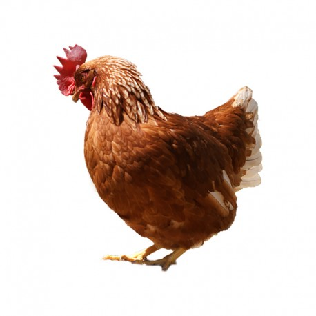 Pienso ecológico final puesta gallinas