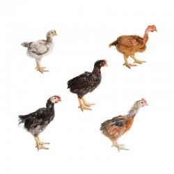 Pienso ecológico crecimiento pollos