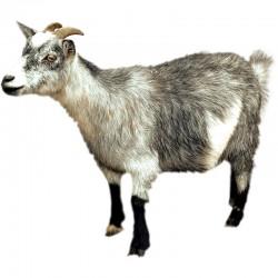 Pienso ecológico cabras lecheras